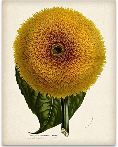 Giant Sunflower Botanical Illustration - 11x14 Unframed Art Print - Great Kitchen Decor and Gift Under $15 for Nature Lovers