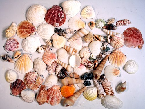 Basket Mixed Arrangement (Creative Hobbies Sea Shells Mixed Beach Seashells - Various Sizes up to 2