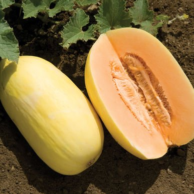 David's Garden Seeds Fruit Melon Lilly 25 Hybrid Seeds