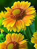 GAILLARDIA - GRANDIFLORA - MESA PEACH - PLUGS - LIVE PLANTS
