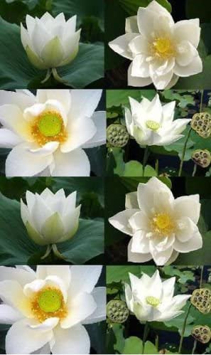 100 SEEDS WHITE DAY LOTUS NELUMBO NUCIFERA POND PLANT NOT WATER LILY