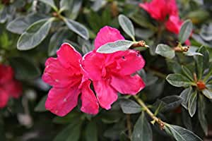 "Deep Pink Sun Azalea aka Azalea s i 'Pride of Dorking' PATIO TREE Live Plants Fit 5 Gallon Pot - 18""x18"" head"