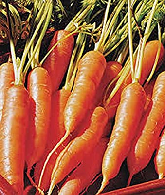 Carrots, Little Finger Carrot Seeds, Organic, NON-GMO, 100+ seeds per package,Little Finger carrots are a smaller version of traditional carrots and are a sweet and juicy addition to your backyard garden.