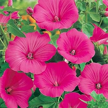 Plant Mallow (Outsidepride Rose Mallow Loveliness - 1000 Seeds)