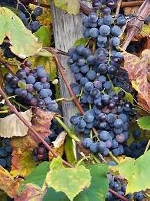 Purple concord grape vine, hardy perennial live plant