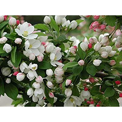 New Sargent's Crab apple, Malus sargentii, Tree 30 + Seeds ( Fast, Hardy, Fall Color ) : Garden & Outdoor