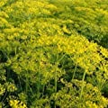 Dill (Anethum graveolens) - 'Elephant' 50 Rare Heirloom Herb Seeds in a Glass Vial with Silica Beads and Organic Cotton for Excellent Long Term Storage