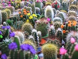 50 FINEST MIXED CACTUS Flower Seeds Garden, Lawn, Supply, Maintenance