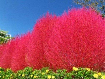 Grow Salvia Seeds - 3