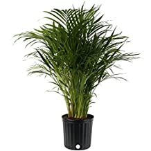 Costa Farms Butterfly Areca Palm Live Indoor Floor Plant in 8.75-Inch Grower Pot