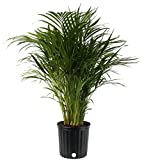 Costa Farms Live Areca Palm in Decor Planter