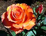 Gingersnap Floribunda Rose Bush - Bareroot