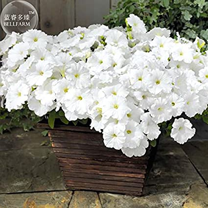 Amazon 2018 hot sale exinnos petunia success white trailing 2018 hot sale exinnos petunia success white trailing petunia seeds 200 vigorous and mightylinksfo