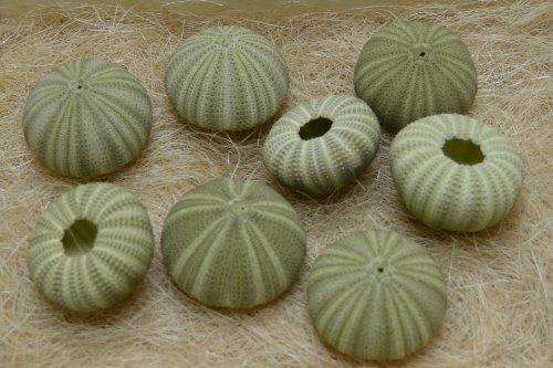 8 Pcs Green Sea Shell Seashell Urchins Beach Wedding Nautical