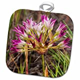 3dRose Danita Delimont - Chuck Haney - Flowers - Tapertip Onion flowering in The Painted Hills, Mitchell, Oregon, USA - 8x8 Potholder (phl_190036_1)