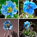 blue0pcs Rare Blue Himalayan Poppy Seeds Potted Bonsai Hardy Flower Seeds s5dy