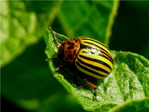 colorado-potato-beetle-glossy-poster-picture-photo-bug-insect-ten-false-wall