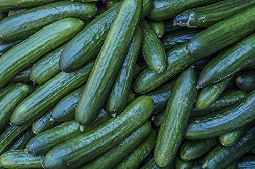 Diva Burpless Hybrid Cucumber Seeds - Hybrid Diva