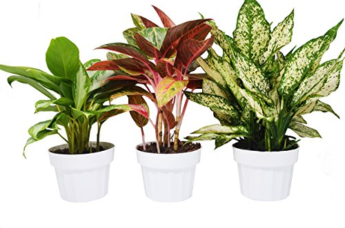 3 Chinese Evergreen Variety Pack - Aglaonema - Live House Plants - FREE Care Guide - 6