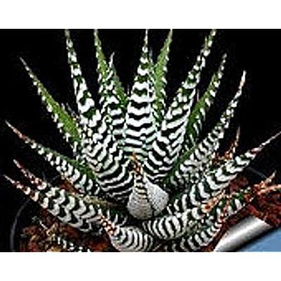 Two Small Succulent Plants. 2 Zebra Haworthia Fasciata Succulents : Garden & Outdoor