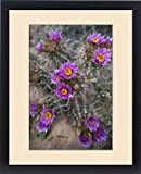 Framed Print of North America, USA, Utah. Whipples Fishook Cactus (Sclerocactus whipplei), UT