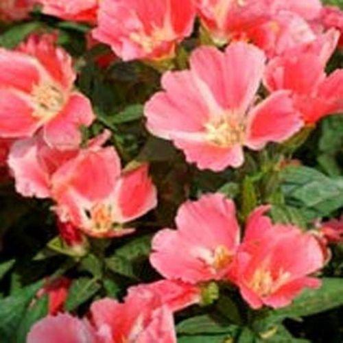 Godetia- Orange Glory- Grandiflora- 100 seeds