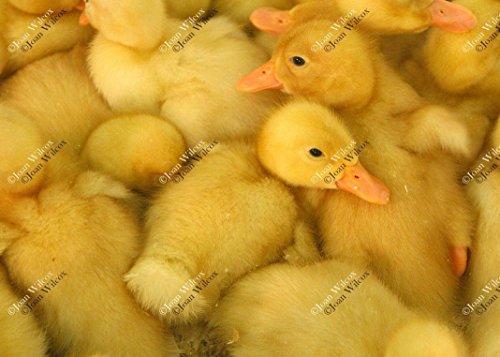 Cute Yellow Baby Ducks Ducklings Fuzzy Furry Hatched Original Fine Art Photography Wall Art Photo (Furry Ducks)