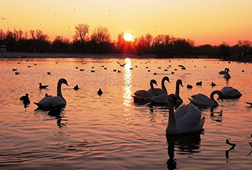 Lake Swans Birds Sunset Art Print Canvas Poster,Home Wall Decor(24x36 inch) by FHYGJD