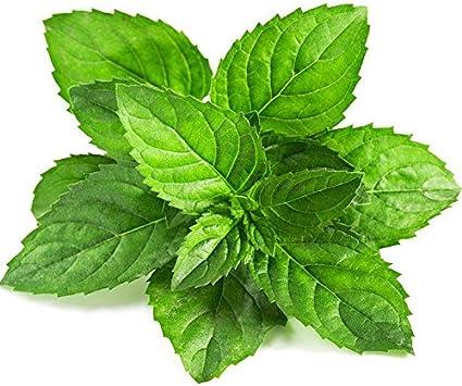 100 Semillas de menta verde menta comestible de semillas flor de ...