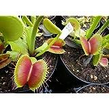 Exotic Plants Dionaea muscipula B52 - - 5 semi