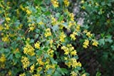 Live Plant Ribes Aureum Golden Currant QUART SIZE Native Xeric