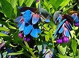 25+ Blue Shrimp Pride Of Gibraltar Flower Seeds / Cerinthe / Perennial