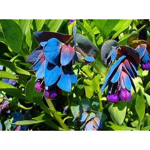 Shade flowers perennial blue amazon 25 blue shrimp pride of gibraltar flower seeds cerinthe perennial mightylinksfo