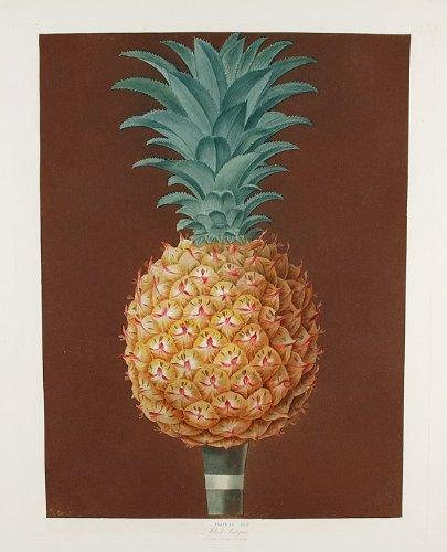 (Pineapple) Jagged Leaf Black Antigua