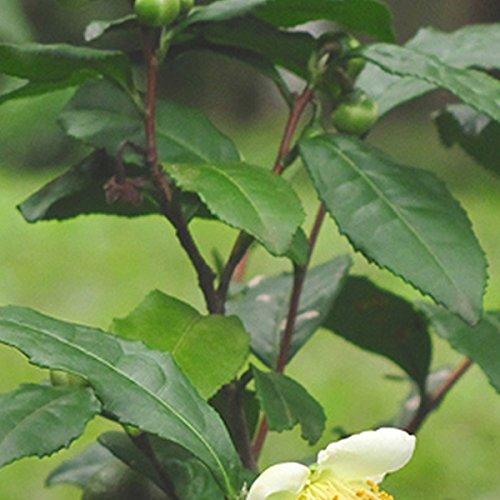 【50本セット】 チャノキ 樹高0.2m前後 10.5cmポット 茶の木 ちゃのき 苗木 植木 苗 庭木 生け垣 B01I1HRY4I