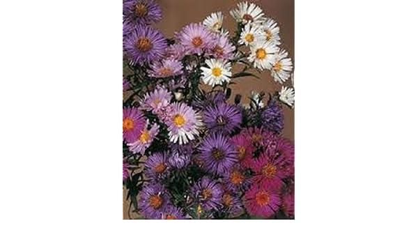 ASTER NOVAE BELGII FLOWER SEED MIX 30 LONG LASTING ANNUAL