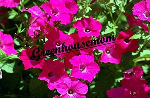 ~ Tidal Wave HOT Pink * Trailing Petunia * 20 Pelleted Seeds