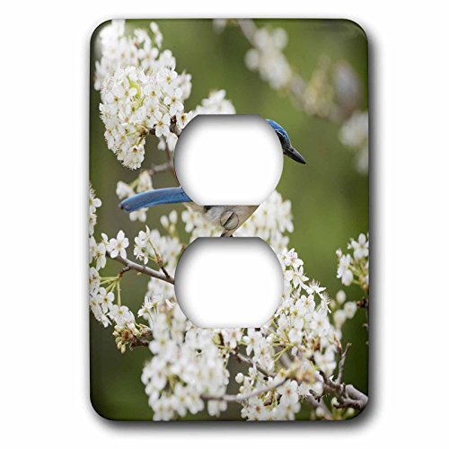 3dRose Danita Delimont - Songbirds - Western Scrub Jay in a Mexican Plum tree, Hill Country, Texas - Light Switch Covers - 2 plug outlet cover (lsp_279583_6)