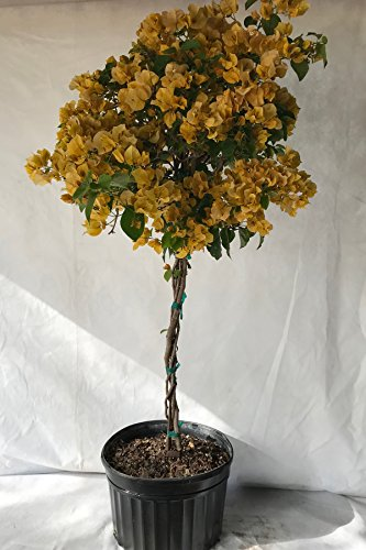 Assorted Bougainvillea Plant (flowers, hanging basket, bush, trellis, patio tree, vine) (5 Gal Trellis) by Root 98 Warehouse (Image #2)