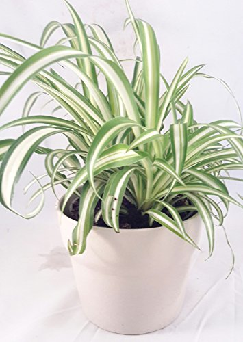 Ocean Spider Plant - Easy to Grow - Cleans the Air - 4 ceramic white pot Pot