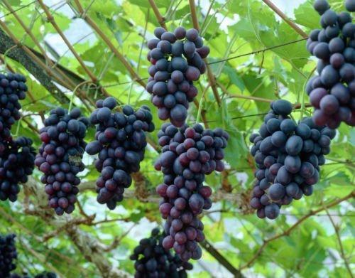 Wine Grape, Vitis vinifera, Vine Seeds (Fast, Edible, Fall Color)