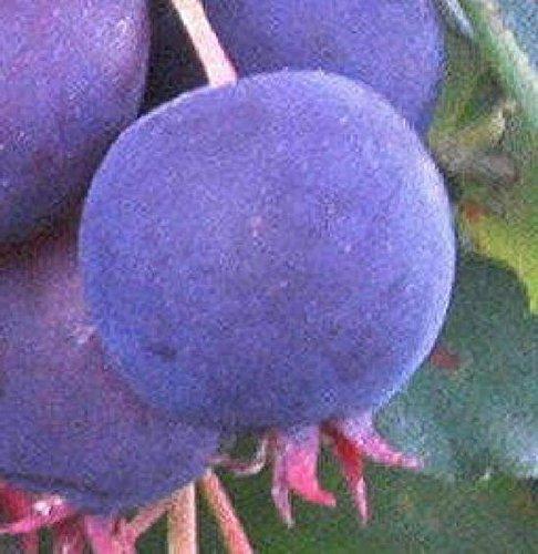 Saskatoon serviceberry blueberry flavor fruit tree Sweet edible berry LIVE (Saskatoon Berry)