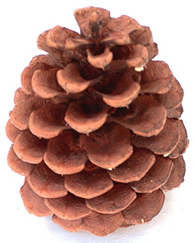 24 Premium 3 to 3.5 Inch Tall PineCones Grown On Ponderosa Pine Trees In Oregon Then Hand Selected From Forest Floor Ready For Variety Indoor Outdoor Uses