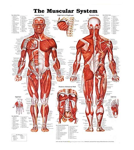 Human Muscular System Anatomical Poster Chart,Silk,Large Size:24