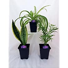 Jmbamboo - House Plant Collection - Parlor Palm, Spider Plant, Snake Plant