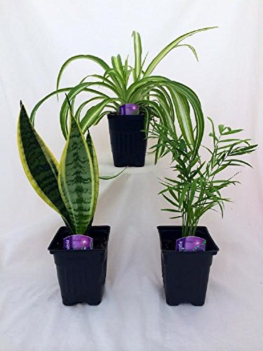 - Jmbamboo - House Plant Collection - Parlor Palm, Spider Plant, Snake Plant