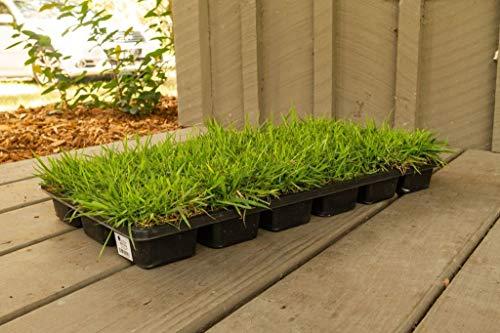 Zoysia Sod Plugs - Large 3'' x 3'' Plugs - 18 Count Tray - Drought, Salt & Shade Tolerant Turf Grass by Florida Foliage (Image #1)