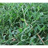 Knotgrass Herb, Cut&Sifted - Wildcrafted - Polygonum aviculare (454g = One Pound) Brand: Herbies Herbs