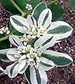 Seeds Snow On The Mountain Shrub (Euphorbia marginata) Decorative