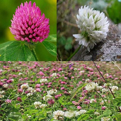 25g: ivisons red White or Mixed Clover Seeds Green Manure Wild Flower 10g to 10kg